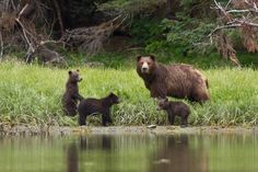 A family of local Brown Bears in Sitka, Alaska by Pioneer Videography LLC Sitka Alaska, Brown Bears, Jehovah, Videography, Animal Kingdom, Conservation, Wildlife, God, Studio