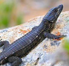 Black Girdled Lizard (Cordylus niger) photographed by Bernard DuPont at Buffels Bay, Cape of Good Hope Peninsula, Western Cape, S.Africa