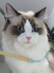 NAPOLEON- model cat is an adoptable Ragdoll Cat in Harlingen, TX. NAPOLEON is a stunningly handsome kitty. He has long, thick fur and lovely blue eyes. He's the kind of boy you see in commercials for ...
