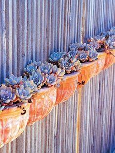 echeveria against rough wooden slats