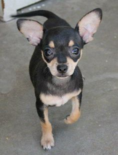Little Pip from Cuddly Canines is looking for a forever home!  Great rescue group from Orange County, CA.