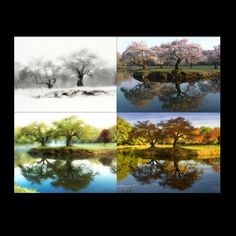 A http://drandreahayeck.com repin. A wonderful dentist in Linden serving many Cranford residentts.    The Four Seasons of Nomahegan Cherry Trees by dmetzphotography, $30.00