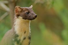 https://flic.kr/p/JP4Taw   Female Pine Marten   In the sun. Happy days.  I took over 200 shots of these beautiful animals, but this stood out and was taken with the first press of the shutter.…