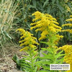 Peter Pan has graceful sprays of yellow flowers in late summer on medium sized plants. A  German cultivar, this variety was top rated in the Chicago Botanic Gardens Goldenrod trials. Outstanding source of nectar for bees and butterflies.