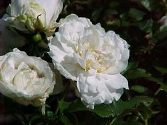I have this in my garden .It has a lovely fragrance and it is very hardy!