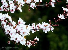 Sweetbriar Dreams: Wordless Wednesday - We Have Blossom