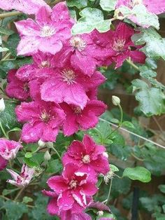 How To Care For A Perennial Hibiscus Tree Year Round Hibiscus