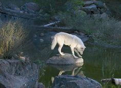 White Wolf drinking STOP KILLING WOLVES  !