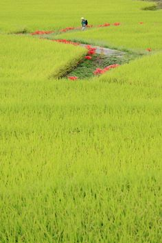 """Asuka, Nara: love these red wild lilies (""""Higan-bana"""") that grow between the rice fields"""