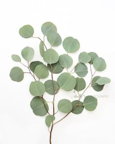 """Eucalyptus Leaves 1""- Silver dollar eucalyptus branch. I love their little round leaves. Fine Art Print. Professionally printed upon order. My photographs are professionally printed with archival ink"