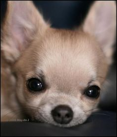 Chihuahua peekin' at you.