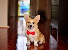 My corgi will wear a bow tie if it's a boy!