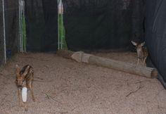 The doe on the left and the buck on the right are both about 2 weeks old. This is their first night together.