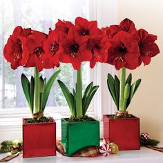 amaryllis or jersey lilys are a small genus of flowering bulbs they are a common