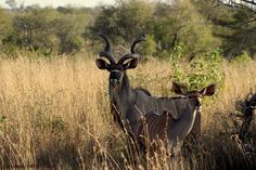 A beautiful pair of Kudu's in the Kruger National Park, South Africa - by F.J Mammes