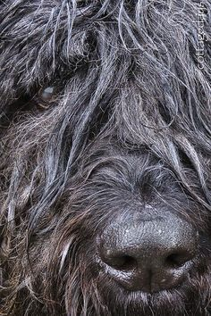 Bouvier des Flandres dog art portraits, photographs, information and just plain fun. Also see how artist Kline draws his dog art from only words at drawDOGS.com #drawDOGS http://drawdogs.com/product/dog-art/bouvier-des-flandres-dog-portrait-by-stephen-kline/