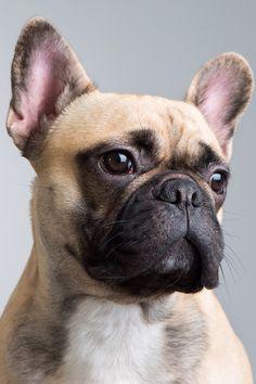Fransk bulldog, Ossie