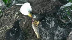 AEF-DC Eagle Cam ~ Fish for Dinner ~ 05·07·17