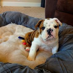 Our new bulldog baby