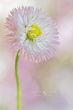 ~~Sweet Daisy by Jacky Parker Floral Art~ flowers All Flowers, Flowers Nature, My Flower, Beautiful Flowers, Nature Tree, Pastel Flowers, Beautiful Things, My Secret Garden, Planting Flowers