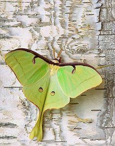 -◙-Luna Moth (Actias luna) or -◙- Indian Moon Moth or Indian Luna Moth (Actias selene) Beautiful Bugs, Beautiful Butterflies, Papillon Butterfly, Moon Moth, Moth Caterpillar, Tier Fotos, Beautiful Creatures, Animal Kingdom, Mother Nature