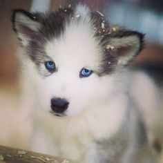 Look at its BEAUTIFUL blue eyes!!! Awwwww