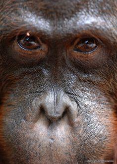 Looking into the eyes of an orangutan.