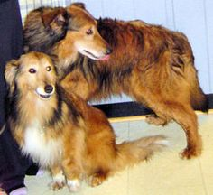Rascal & Samantha is an adoptable Collie Dog in Mississauga, ON. We are male/female Collie/Sheltie mixes, about 10 years. Here's a bio by our foster parent: 'Sammy and Rascals senior owner had to move...