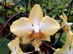 Moth-Orchid; Phalaenopsis stuartiana nobilis - Flickr - Photo Sharing!