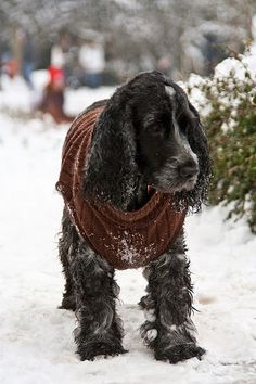 """Click visit site and Check out Best """"English Cocker Spaniel"""" T-shirts. This website is outstanding. Tip: You can search """"your name"""" or """"your favorite shirts"""" at search bar on the top. Black Cocker Spaniel, Springer Spaniel Puppies, Cute Puppies, Cute Dogs, Dogs And Puppies, Doggies, Spaniel Breeds, Dog Breeds, English Cocker"""