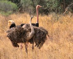 The Ostrich bird or Common Ostriches (Struthio camelus) is either one or two species of large flightless birds native to Africa. They can run at up to about 70 km/h (43 mph), the fastest land speed of any bird, and some people even ride them.  When threatened, the ostrich will either hide itself by lying flat against the ground, or run away. If cornered, it can attack with a kick of its powerful legs. Ostrich Bird, The Ostrich, Camelus, Ostriches, Flightless Bird, Animal Kingdom, Creatures, Birds, Africa
