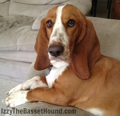 If you shared your lunch with me, I wouldn't mind. - Izzy the Basset Hound
