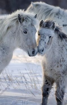 Ponies in winter