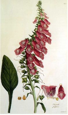 This is a copperplate of Ferdinand Bauer's painting of Digitalis viridiflora Lindl. It was included in an 1821 monograph by botanist John Lindley on the foxglove genus. Illustration Botanique, Illustration Blume, Science Illustration, Art Floral, Motif Floral, Vintage Botanical Prints, Botanical Drawings, Botanical Flowers, Botanical Art