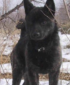 Dog breed: Kai Ken