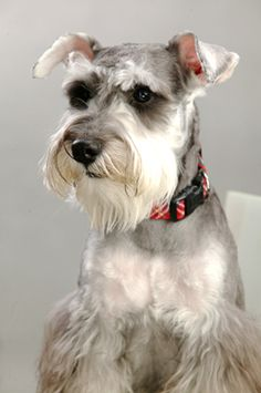 cute schnauzer face :). This is the dog I want, or I should say I want a standard Schnauzer, I miss the one I had so bad. Never has another dog ever compared to my sweet Annabelle.