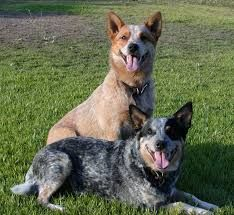 Both kinds of Australian Cattle Dogs - Red and Blue