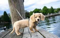 Bambi The Dachshund Is Guaranteed To Bring Infinite Joy To Your Life Dachshund Breed, Dapple Dachshund, Dachshund Love, English Cream Dachshund, Golden Dachshund, Animals And Pets, Baby Animals, Cute Animals, Mini Long Haired Dachshund