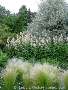 Stipa tenuissima with Persicaria polymorpha and Salix alba var. sericea at Hayefield