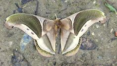 Giant Silk Moth from Brazil: Rhescyntis pseudomartii -...