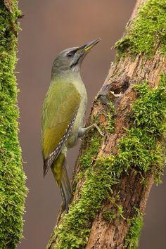 dzięcioł zielonosiwy - Picus canus