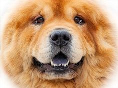 The Chow Chow is a dog breed originally from northern China, where it is referred to as Songshi Quan which means puffy-lion dog. A legend says that the original teddy bears were modeled after Queen Victoria's Chow Chow puppy. JigZone.com