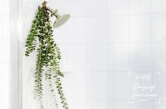 eucalyptus shower for anti-stress, mentally-clarifying, anti-inflammatory, & improves respiratory health Best Shower Filter, Shower Water Filter, Bathroom Wall Cabinets, Bathroom Plants, Hanging Plants, Indoor Plants, Indoor Gardening, Shower Plant, Eucalyptus Shower