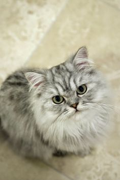 5 Facts About Persian Cats