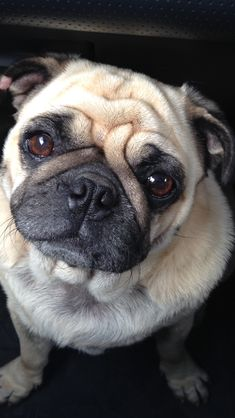Doug the pug :) ----- P.S. click on the image to check out our Funny Pugs T-shirt today! All sizes available in different colors.