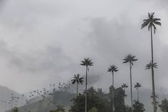 The rather tall wax palms of Colombia's Cocora Valley.  #valleydecocora  #colombia #waxpalms #welltravelled  #passportexpress #passionpassport  #lonelyplanet  #openmyworld #wanderlust #travelstoke #natgeo #letsgosomewhere #bestvacations  #finditliveit  #exploremore #travel #discovertheroad #natgeolandscape #neverstopexploring #goplayoutside #wildernessculture #explorewildly #ourplanetdaily #keepitwild #stayandwander