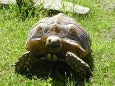 Adopt a Sulcata Tortoise.