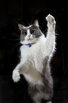 I'm a cat, I'm a kitty cat. And i dance, dance, dance.