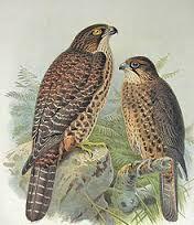 New Zealand falcon (from Buller's Birds of New Zealand, Irezumi Tattoos, Maori Tattoos, Key Tattoos, Skull Tattoos, Foot Tattoos, Sleeve Tattoos, Thai Tattoo, Flower Tattoo Foot, Flower Tattoos