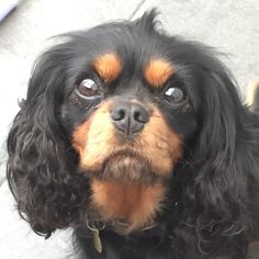 Elsie our tiny Cavalier King Charles Charles Spaniel, Cavalier King Charles, Spaniels, Dog Cat, Cats, Animals, Gatos, Animales, Animaux
